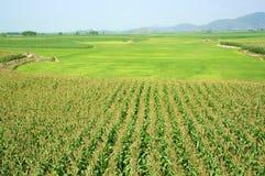 Le gisement de maïs cultivent en rangs le paddy Image stock