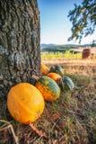Le gisement de potiron avec les potirons mûrs de vert et de yeallow s'approchent de l'arbre Photographie stock