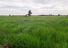 Le gisement de riz photographie stock