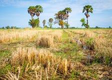 Le gisement de riz après fin de saison de récolte pendant le matin photographie stock libre de droits