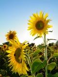 Le gisement de tournesol attire des abeilles de pollinisateur photographie stock libre de droits
