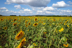 Le gisement du tournesol Images stock