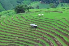 Le gisement en terrasse vert de riz à la PA bong le village de piang, Chiangmai, Thaïlande Photos libres de droits