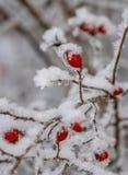 Le givre a couvert la branche de la rose sauvage de baies rouges, beauté en nature photographie stock