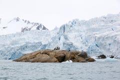 le glacier Blanc-bleu avec la roche brune dans le premier plan coule dans la mer Photo stock