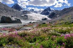 Le glacier de montagnes fleurit le saule-thé de camomille images libres de droits