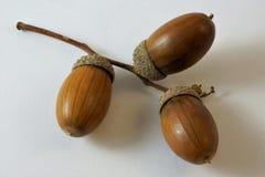 Le gland est un fruit de chêne, famille de hêtre images libres de droits