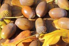 Le gland et le chêne part sur une table en bois Image libre de droits