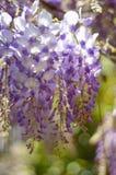Le glicine d'attaccatura fioriscono di mattina il sole Fotografia Stock