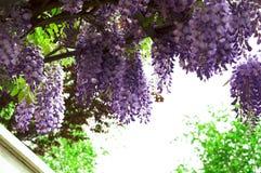 Le glicine hanno fiorito nel parco della città immagini stock