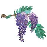Le glicine porpora fioriscono con il ramo e lasciano il vettore Fotografie Stock Libere da Diritti