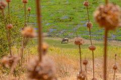 Le gnou a repéré le pâturage dans la région sauvage image stock