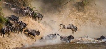 Le gnou sautant dans Mara River Transfert grand kenya tanzania Masai Mara National Park photographie stock libre de droits