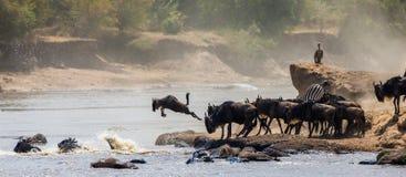 Le gnou sautant dans Mara River Transfert grand kenya tanzania Masai Mara National Park photographie stock