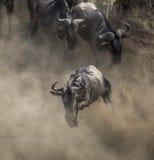Le gnou sautant dans Mara River Transfert grand kenya tanzania Masai Mara National Park photo stock