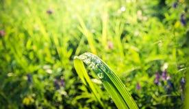 Le gocce della rugiada di mattina sulla vasta erba riflettono il cielo fotografia stock libera da diritti