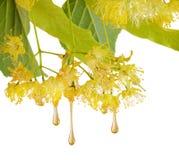 Le gocce della sgocciolatura dolce del miele dal tiglio fiorisce Fotografia Stock