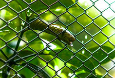 Le gocce di acqua giù sulla foglia verde fissa per cambiare il ferro, Fotografia Stock