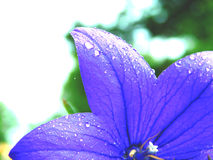 Le gocce di acqua gradiscono il Flowee porpora fotografia stock libera da diritti