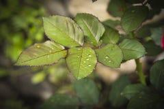 Le gocce di acqua su sono aumentato foglie fotografie stock libere da diritti