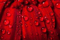 Le gocce di acqua sul petalo del gerber Immagini Stock