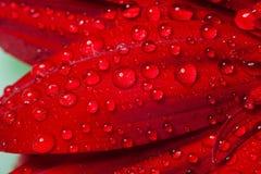 Le gocce di acqua sul petalo del gerber Immagine Stock Libera da Diritti