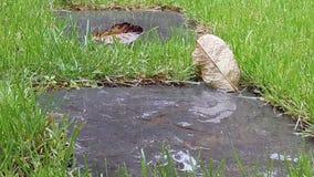 Le gocce di pioggia rare cadono per bagnare le foglie verdi Bellezza del tempo piovoso di estate di attimo della natura Le foglie stock footage