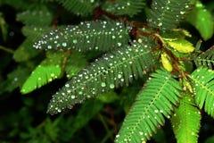 Le gocce di pioggia sopra gren le foglie Fotografia Stock