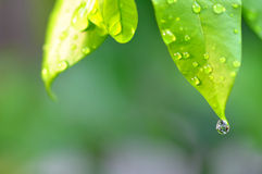 Le gocce di rugiada innaffiano su una foglia verde fresca Fotografie Stock