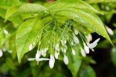 Le gocce di rugiada sono sui fiori bianchi Fotografia Stock