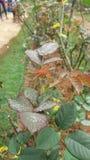 le gocce di rugiada sul fiore della rosa coprono di foglie Immagini Stock Libere da Diritti