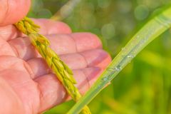 Le gocce vaghe e morbide di morbidezza del fuoco di rugiada su risaia verde vanno, seme del risone del grano sulla mano della pal Fotografie Stock