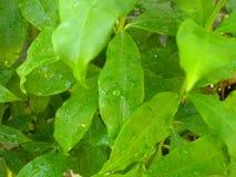 Le goccioline attaccano sulle foglie fotografie stock libere da diritti