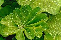 Le goccioline della pioggia illuminano le foglie del pelargonium dopo pioggia in un giardino inglese immagini stock