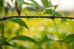 Le goccioline di acqua restano al ramo di albero dopo pioggia fotografie stock