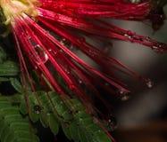 Le goccioline di acqua sono abbondanti su un bello DES di rosso Immagini Stock Libere da Diritti