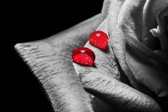 Le goccioline di acqua su un color scarlatto rosso sono aumentato textu del primo piano dei petali macro fotografie stock libere da diritti