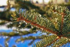 Le goccioline di acqua su un ramo del pino riflettono un giorno di primavera caldo. Fotografia Stock Libera da Diritti