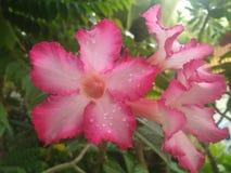 Le goccioline sono sui petali del fiore fotografia stock