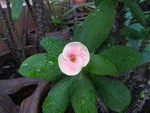 Le goccioline sui petali e sulle foglie del fiore immagini stock