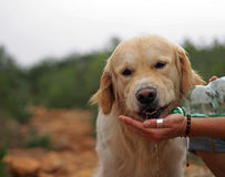 Le golden retriever amical est eau potable  Photos libres de droits