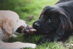 Le golden retriever blanc et le chien noir de Terre-Neuve jouent le conflit images libres de droits