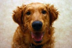 Le golden retriever est heureux de vous voir ! photographie stock