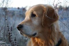 Le golden retriever regarde au côté, son chef photos libres de droits