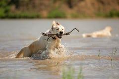 Le golden retriever tire le bâton hors de l'eau Photo stock