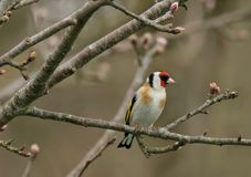 Le Goldfinch Photographie stock