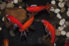 le goldfish01 Photographie stock libre de droits
