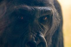 Le gorille \ les 'yeux de s vous regardent fin  image libre de droits