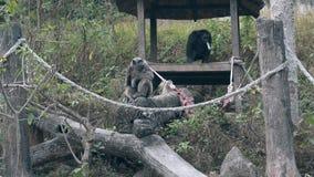 Le gorille nere e grige scalano sul tronco e sul resto di albero di menzogne video d archivio