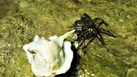 Le gourmet de crabe mangent une huître photos libres de droits